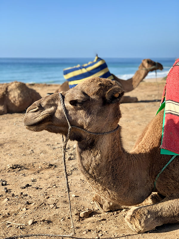 A camel in morocco